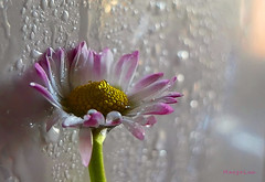 * (MargoLuc) Tags: daisy white pink droplets bokeh natural window light wintertime indoor flower spring