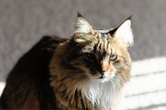 You Got the Look (backbeatb00gie) Tags: light cat d5000 elsie eyes furry home look nikon pet shadow