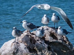 proteger (Hélène Baudart) Tags: mouettes oiseaux mer mexique protection
