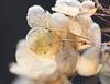 Rays in the winter sun (herman hengelo) Tags: hortensia backlight wintergarden sunrays ripe rijp hengelo thenetherlands