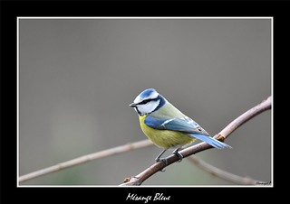 Mésange bleue  Picardie France