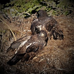Growing Wings (Insearchoflight) Tags: nestingeagles eaglets immatureeagles baldeagles youngbaldeagles cuckoldscove newfoundlandandlabrador avianwonders avianbeauty avians wildlife birds naturephotos waynenorman insearchoflight