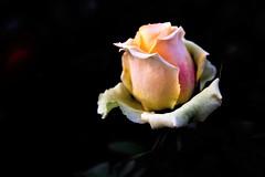 Rosa (ameliapardo) Tags: rosas floresyplantas flores plantas macrodeflores macrodefloresyplantas jardines airelibre sevilla andalucia españa fujixt1