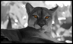 Panther Eyes (Thanks for over 2 million views!!) Tags: panther honduras blackandwhite selectivecoloring animal nature mammal macro canoneosrebelt5 chadsparkesphotography