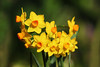 Early daffodils (ekaterina alexander) Tags: early daffodils yellow orange spring winter flowers ekaterina alexander england sussex nature photography pictures