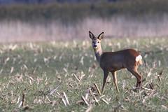 IMG_012346 - Deer moments (Monique van Gompel) Tags: deer roedeer ree roe wildlife nature natuurfotografie naturephotography moments peaceful walk tranquilmoments momentstamron sp 150600 mm g2 tamron outdoor wonders