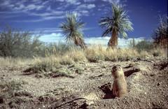 Prairie Dog - TBT (edelweisskoenig) Tags: usa arizona newmexico prairiedog präriehund marmot murmeltier landscape landschaft tbt throwbackthursday desert wüste animal tier cactus