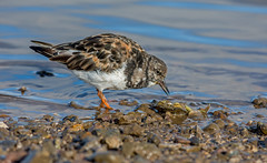 JWL6497  Turnstone.... (jefflack Wildlife&Nature) Tags: turnstone turnstones birds avian animal animals wildlife wildbirds waterbirds wetlands waders waterways seabirds seashore countryside coastalbirds shorebirds estuaries estuary lakes reservoirs nature coth5 ngc npc
