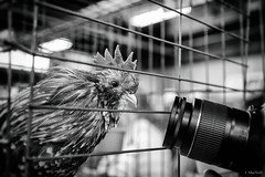 poultry paparazzi (Jen MacNeill) Tags: pa farm show agriculture exhibition farming ag pennsylvania harrisburg chicken chickens rooster poultry bnw blackandwhite black white