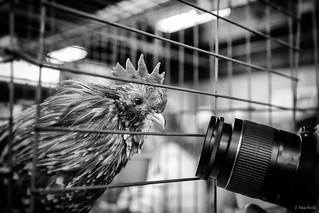poultry paparazzi