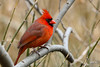 Northern Cardinal (jt893x) Tags: 150600mm bird cardinal cardinaliscardinalis d500 jt893x male nikon nikond500 northerncardinal sigma sigma150600mmf563dgoshsms songbird coth alittlebeauty thesunshinegroup coth5