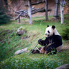 Beauval's animals : the Panda #1 (richardtostain) Tags: panda beauval zooparc sony a7ii canon 135mm f2 bokeh wide open