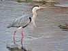 Garza real (Ardea cinerea) (16) (eb3alfmiguel) Tags: aves zancudas ciconiiformes ardeidae garza real ardea cinerea