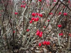 Winter walk. Where is snow? (basiamarcisz) Tags: wilanów warsaw warszawa czerwień przyroda natura nature plants