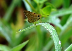 Small Branded Swift - just after the rains (forest venkat) Tags: bird butterfly flower insect plant sweet forest macro left photo pic