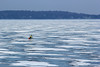 ice bike (kerwilliger) Tags: lake mendota frozen ice winter january madison wisconsin snow bike