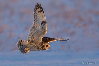 Short-eared owl, morning light.