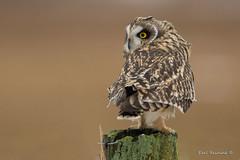 Who, me? (Earl Reinink) Tags: owl raptor predator winter ligh cold eyes shortearedowl earl reinink earlreinink fence post perch ihhdaaadha
