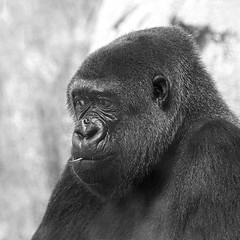 Blade of grass (JLM62380) Tags: portrait eyes monkey animal zoo hand gorilla gorille planet kong bladeofgrass décontraction blackandwhite