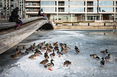 The Lunchtime Crowd (BB ON) Tags: toronto ontario canada ducks fowl ice winter snow people urban city building harbor harbour outdoor ouside woman pier