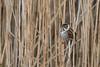 Reed Bunting (jillyspoon) Tags: reedbunting yorkshirewildlifetrust staveley