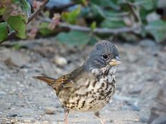 Fox Sparrow - Los Liones Cyn (weezerbee9) Tags: