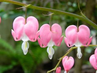 Bleeding Heart Dicentra spectabilis blooms by garden muses-not another Toronto gardening blog