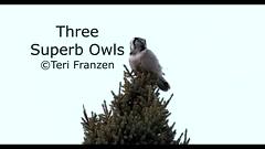 Three Superb Owls (tkfranzen) Tags: northernhawkowl surniaulula barredowl strixvaria greatgrayowl strixnebulosa saxzimbog birdsofmn tnclivenature animalplanet