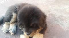 21314459_10213820356650043_7315305664858387194_n (natedetienne) Tags: ash tibetan mastiff puppy tm