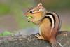 Chipmunk 2 (Charli 49) Tags: charli nature naturfotografie tier animal säugetier mammal streifenhörnchen chipmunk kanada ontario nikon d7000