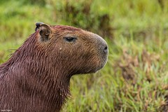 Capivara (izaletetavares) Tags: animals animais animal ambiente animalplanet amazing árvore fauna flora free foto flickr fofo selvagem cool canon cute verde vida vidaselvagem green galhos goiás wildlife wild wildlifephotography world wildife wildlifephoto wildnature livre life liberdade izaletetavares photo photography preservação photos preserve porangatu nature natureza naturephotography naturephotos new nice nationalgeographic national natural nanatureza lake
