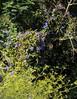 Ipomoea indica; Esperanza, Teneriffa (18) (Chironius) Tags: espagne spanien spain españa spagna испания blossom flower fleur flor fiore blüte ipomoeaindica blossoms цветок цветение flowers blau blue azul blù azurro asterids campanuliids solanales nachtschattenartige windengewächse prunkwinde ipomoea convolvulaceae teneriffa tenerife blüten