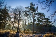 de eese (stevenphotographynl) Tags: sun winterpics bos forrest worldwidetree mist naturegram nederland boom bomen nofiltersneeded canon550d canonnederland cameranunl cameranu nature natuur