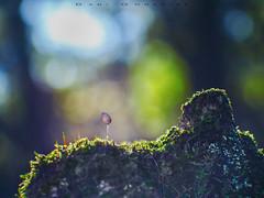 Casi en la cima (www.studio360fotografia.es) Tags: zeissikonvariotalon70120mm cima casi olympus omd em10 setas mushroom fungi seta bokeh desenfoque nature naturaleza zeiss proyector projector fantasia fantasy