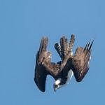 DSC_3817.jpg Osprey, San Lorenzo River, Santa Cruz thumbnail