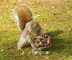 Squirrel with shopping cart (14) (Simon Dell Photography) Tags: winter spring grey animal nature together wildlife sheffield botanical gardens simon dell photography 2018 feb 24 with trolley shopping cart cute funny awesome mini micro full nuts