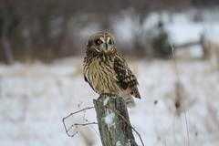 Short-eared Owl (Greg Froude) Tags: shortearedowl asioflammeus owl