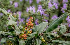Grape Garden. (Omygodtom) Tags: outside bokeh oregongrape flickr flower nikkor leica nikon70300mmvrlens d7100 dof art abstract garden existinglight plant