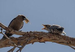 Dusky wood swallows (m&em2009) Tags: bird wood nature fauna wildlife fantastic fantasticnature sky animal