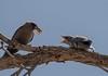 Dusky wood swallows (m&em2009) Tags: bird wood nature fauna wildlife fantastic fantasticnature sky animal
