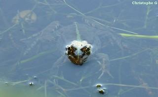 Une grenouille verte grosse comme un hyppopotame, j'exagère à peine... (Sorgues - Vaucluse - 17 juillet 2017)