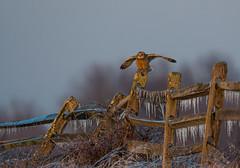 Short-eared Owl (nikunj.m.patel) Tags: owls shortearedowl nature raptor wild wildlife avian winter grassland photography nikon ice