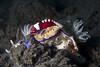 Hypselodoris tryoni + Zenopontonia rex (Emporer shrimps) (prilfish) Tags: bali tulamben karangasem indonesia indonesien dive diving scuba tauchen underwater unterwasser