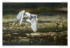 Aigrette garzette (BerColly) Tags: france auvergne puydedome oiseau bird aigrettegarzette littleegrette vol flight riviere river allier bercolly google flickr