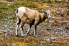 Bighorn sheep, Tangle Creek Falls, Jasper National Park (aud.watson) Tags: canada alberta canadianrockies jaspernationalpark jasper ca icefieldsparkway route93 tanglecreekfalls animal bighornsheep ungulate ewe