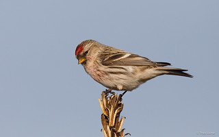 Common Redpoll - Grote Barmsijs - -6013