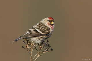 Common Redpoll - Grote Barmsijs - -5980