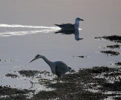 Heron & Gull (stuartcroy) Tags: orkney island heron gull scotland sea sony still reflection beautiful seagulls