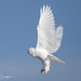 Snowy Owl (DSpringer Photography) Tags: