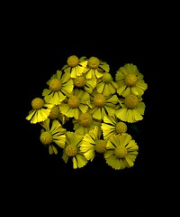 58793.01 Helenium autumnale (horticultural art) Tags: horticulturalart heleniumautumnale helenium helensflower flowers yellow